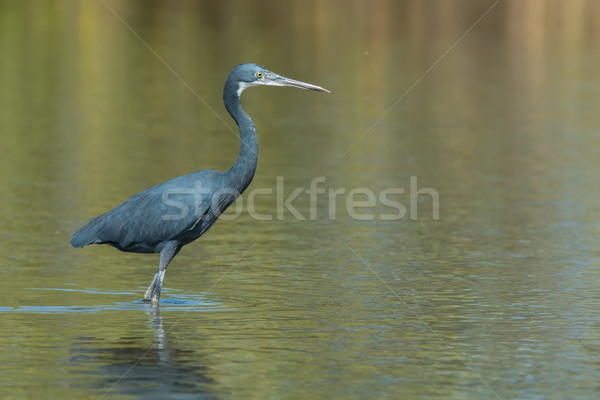 Western Reef Heron standing in shallow water Stock photo © davemontreuil