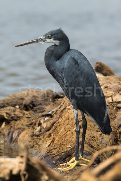 Western Reef Heron standing on a fallen log Stock photo © davemontreuil