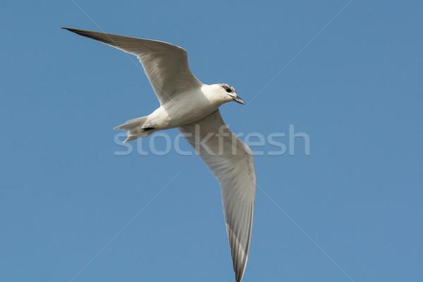 Gull-billed Tern (Gelochelidon nilotica) in flight Stock photo © davemontreuil