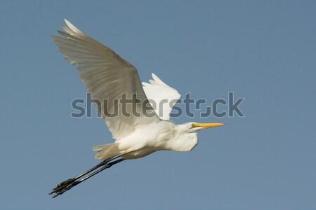 Magnifique blanche vol bleu jambes Afrique Photo stock © davemontreuil
