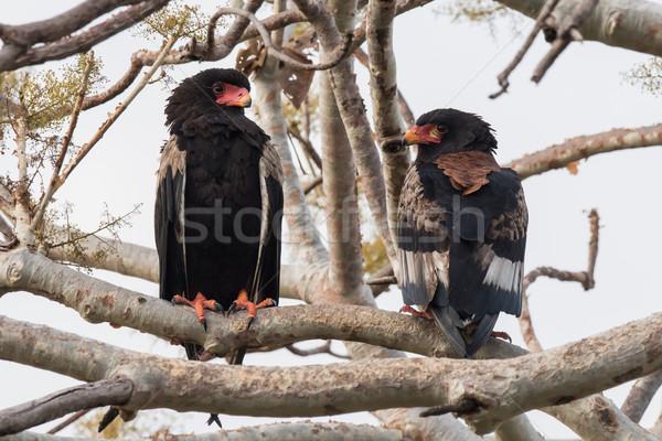 Sas pár mutat kilátás elöl hát Stock fotó © davemontreuil