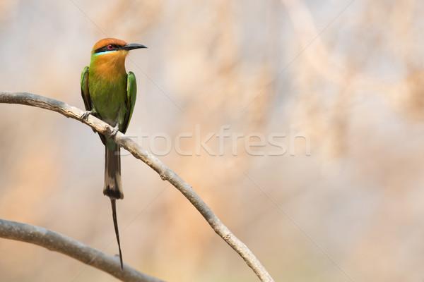 呼び出し 支店 鳥 アフリカ 蜂 アフリカ ストックフォト © davemontreuil