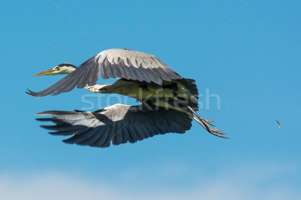 グレー 鷺 オフ 羽毛 ストックフォト © davemontreuil