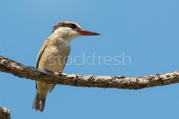 полосатый зимородок птица красивой Nice довольно Сток-фото © davemontreuil