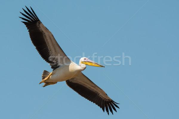 白 飛行 アフリカ 美しい オープン ストックフォト © davemontreuil