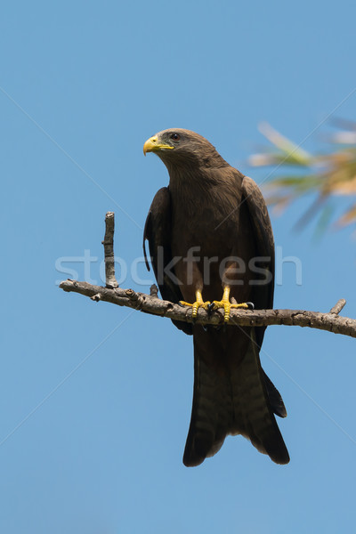 Black Kite (Milvus migrans) perched on a branch Stock photo © davemontreuil