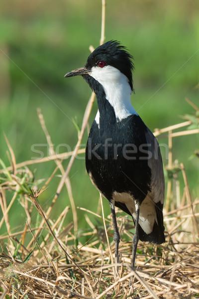 Alertar gramíneo banco natureza animal belo Foto stock © davemontreuil
