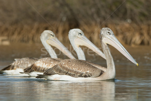 Three Pink-backed Pelicans swimming side by side Stock photo © davemontreuil