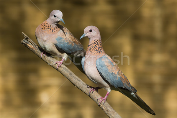 Pár nevet galambfélék természet Afrika galamb Stock fotó © davemontreuil