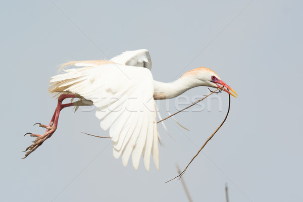 A Cattle Egret (Bubulcus ibis) carrying a stick back to the nest Stock photo © davemontreuil