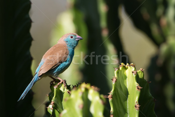 Blue waxbill (Uraeginthus angolensis) perched on a cactus Stock photo © davemontreuil