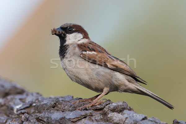 Stock photo: House Sparrow (Passer domesticus) gathering termites for its chi