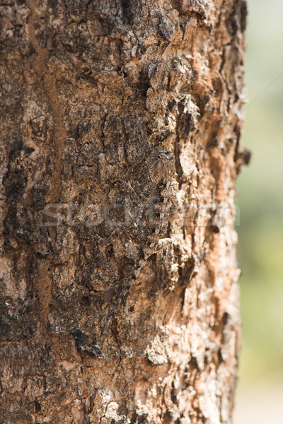 An almost invisible Agama Lizard on the trunk of a tree Stock photo © davemontreuil