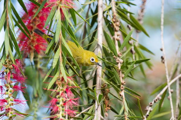 ストックフォト: アフリカ · 黄色 · 花 · 鳥 · アフリカ · 動物