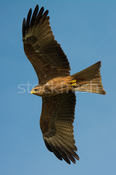 Noir kite vol ailes sur Photo stock © davemontreuil
