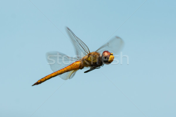 West African Dragonfly in Flight Stock photo © davemontreuil