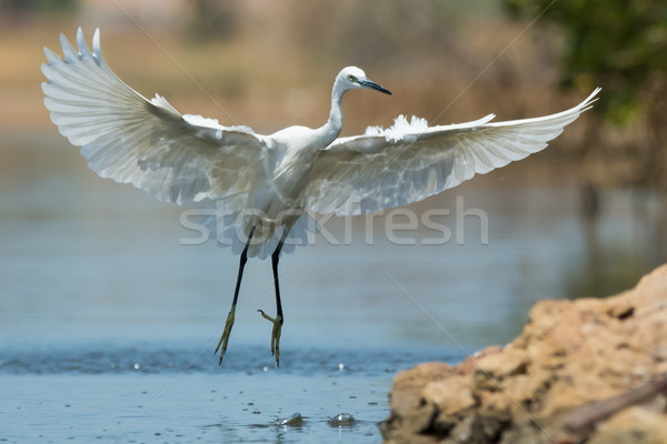 A white morph Western Reef Heron coming in a for a landing Stock photo © davemontreuil