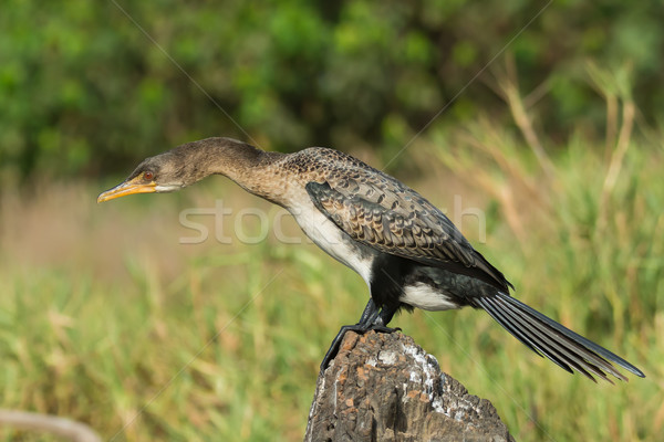 Long-Tailed Cormorant with its neck stretched out Stock photo © davemontreuil