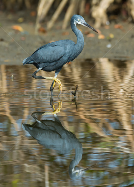 A Western Reef Heron with foot raised reflected in shallow water Stock photo © davemontreuil
