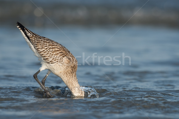 Bar-tailed Godwit (Limosa lapponica) plunging its head deep belo Stock photo © davemontreuil