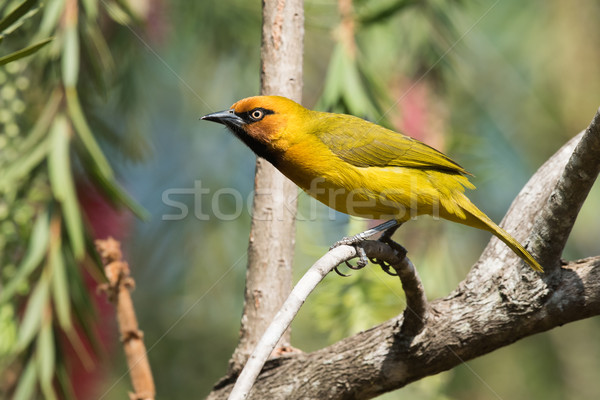 Spectacled Weaver (Ploceus ocularis) perched on a curved bough Stock photo © davemontreuil