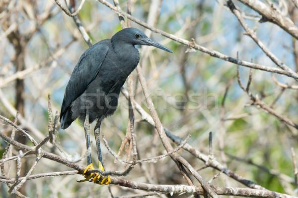 Black Egret (Egretta ardesiaca)  Stock photo © davemontreuil