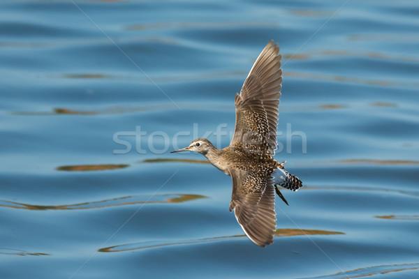 木材 飛行 水 鳥 アフリカ 美しい ストックフォト © davemontreuil