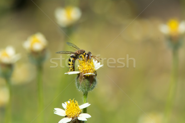 A Wasp on a small flower Stock photo © davemontreuil