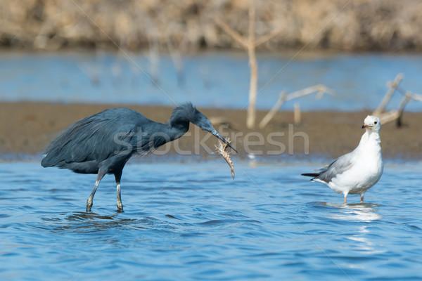 Ouest héron crevettes eau alimentaire Photo stock © davemontreuil