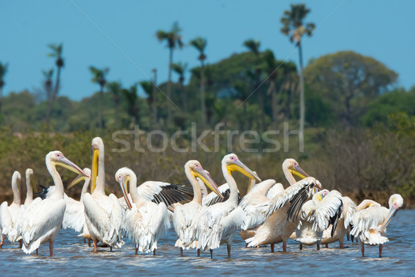 Group of Great White Pelicans standing in water Stock photo © davemontreuil