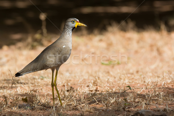 Profile of an African Wattled Lapwing (Vanellus Senegallus) Stock photo © davemontreuil