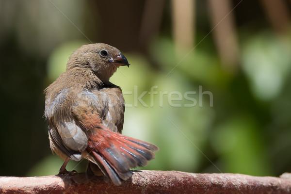 Genç olağandışı fatura yangın kuş kırmızı Stok fotoğraf © davemontreuil