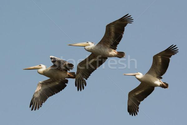 Three Pink-backed Pelicans (Pelecanus rufescens) in flight Stock photo © davemontreuil