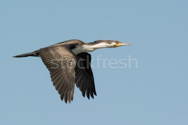 Great Cormorant (Phalacrocorax carbo) in flight Stock photo © davemontreuil