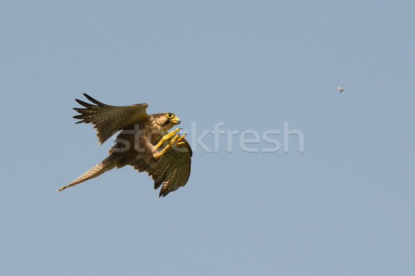 A Lanner Falcon (Falco biarmicus) hunting termites in flight Stock photo © davemontreuil