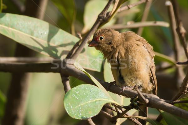 Female Red-billed Firefinch (Lagonosticta senegala) mimicking sc Stock photo © davemontreuil