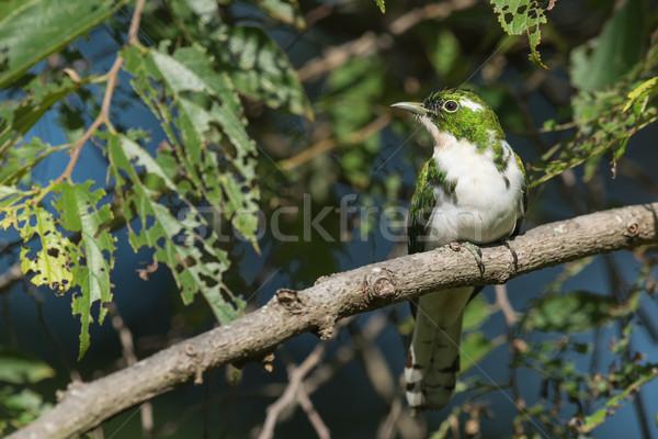 Koekoek boom mannelijke natuur vogel afrika Stockfoto © davemontreuil