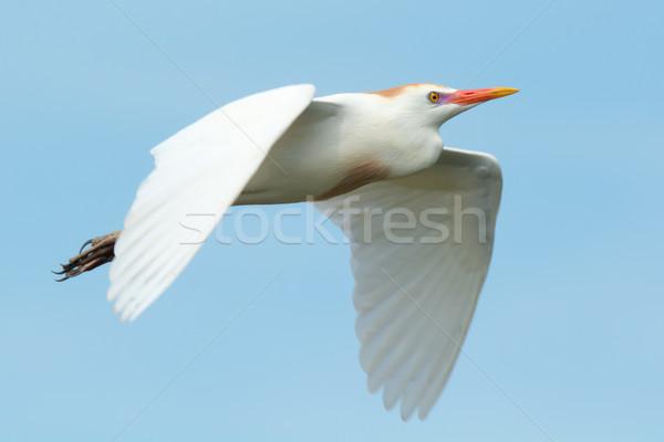 Cattle Egret in flight Stock photo © davemontreuil