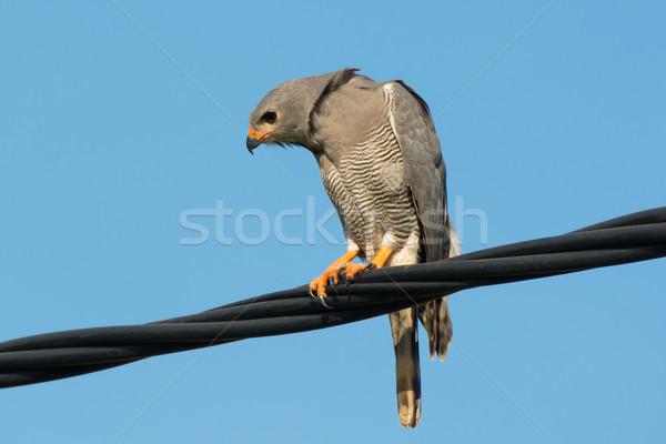 Lézard buzzard fil venteux jour Photo stock © davemontreuil