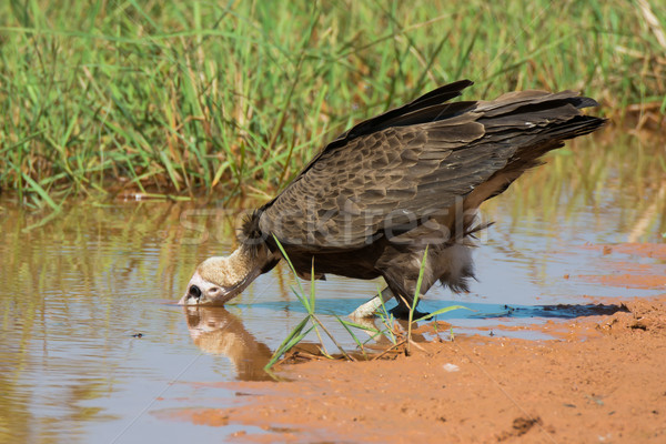 Hooded Vulture (Necrosyrtes manachus) drinking water Stock photo © davemontreuil