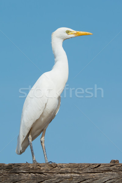 Cattle Egret standing in profile Stock photo © davemontreuil