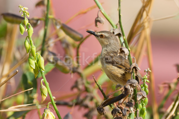Zitting Cisticola perched in a garden Stock photo © davemontreuil