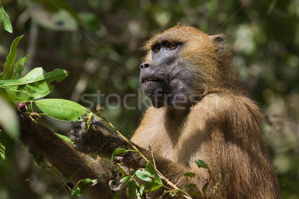 западной бабуин еды зрелый Ягоды странно Сток-фото © davemontreuil