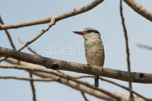 Gestreift Eisvogel Vogel schönen nice ziemlich Stock foto © davemontreuil