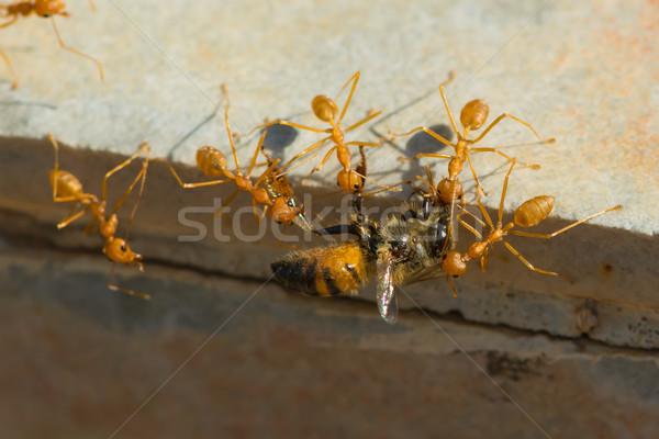 Foto stock: Formigas · mel · de · abelha · casa · grupo · África