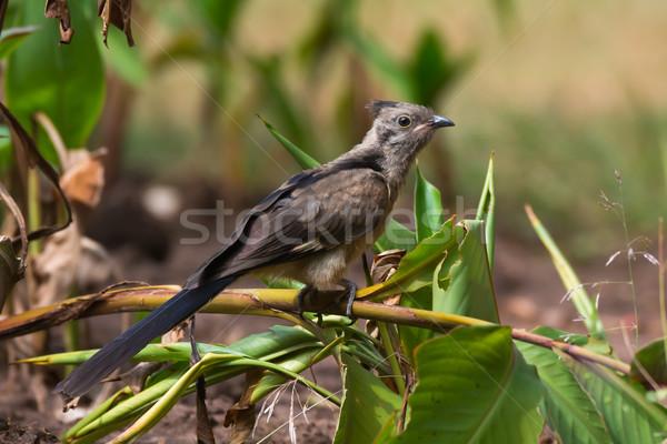 Jeugdig koekoek jonge vogel afrika mooie Stockfoto © davemontreuil