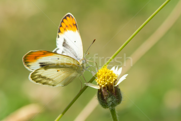 Tiny Orange Tip Butterfly from West Africa Stock photo © davemontreuil