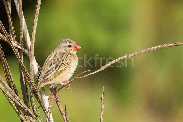Red-billed Quelea (Quelea quelea) perched on a dried stalk Stock photo © davemontreuil