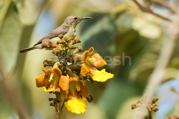Female Beautiful Sunbird perched on a cluster of yellow flowers Stock photo © davemontreuil