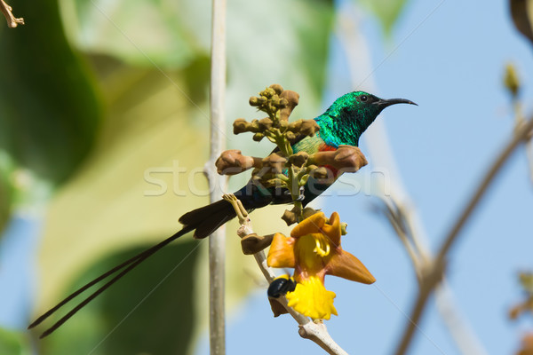 Male Beautiful Sunbird perched behind flowers Stock photo © davemontreuil